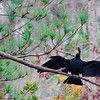 Anhinga Drying Wings
