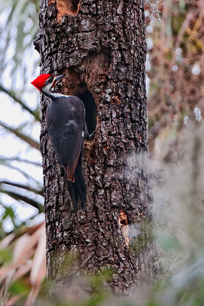Pileated Woodpecker II