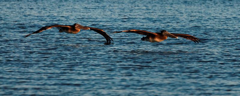 Pelicans Flying Low