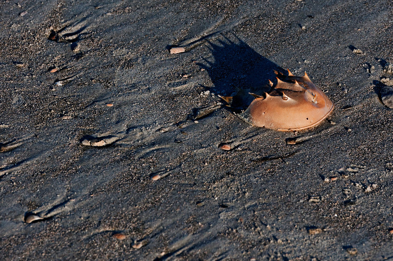 Horseshoe Crabshell