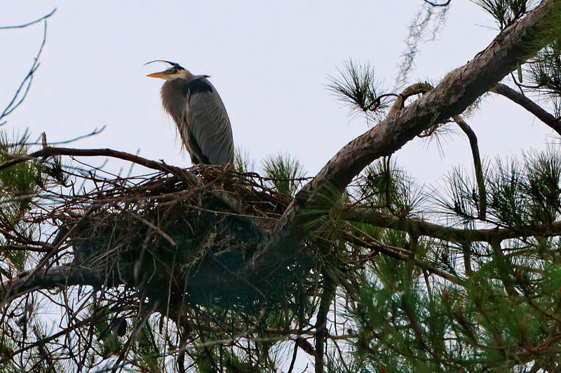 Heron Standing Watch on Nest