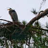 Heron Standing Watch on Nest