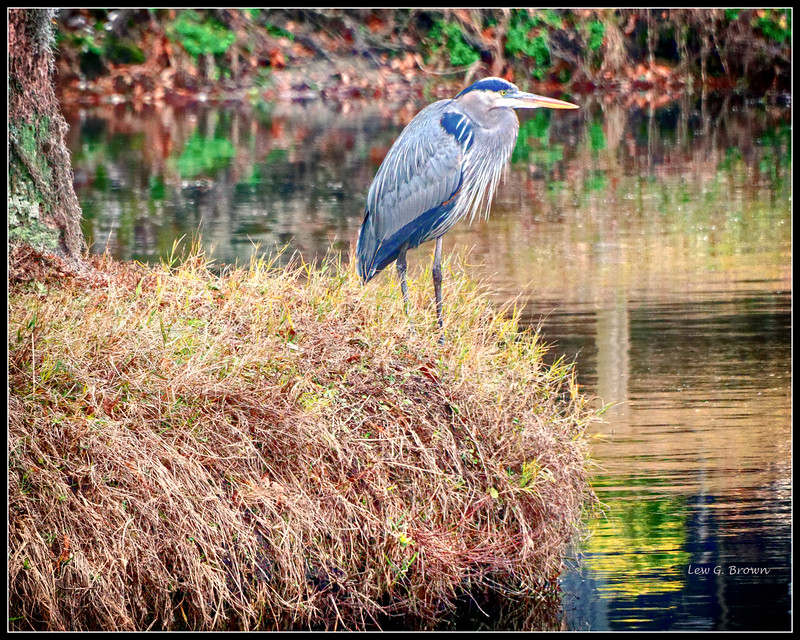 Blue Heron on bank