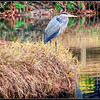 Blue Heron on bank