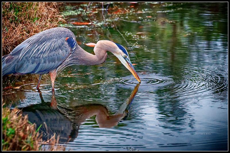 Blue Heron reflection II