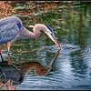Blue Heron reflection II