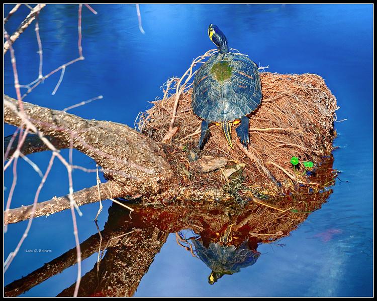Painted Turtle (Eastern, I think)