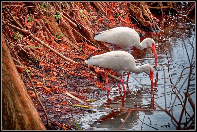 Pair of White Ibis.