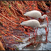 Pair of White Ibis.