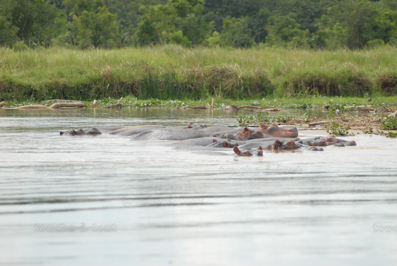 Hippos in the River Nile, Murchison Falls National Park, Uganda