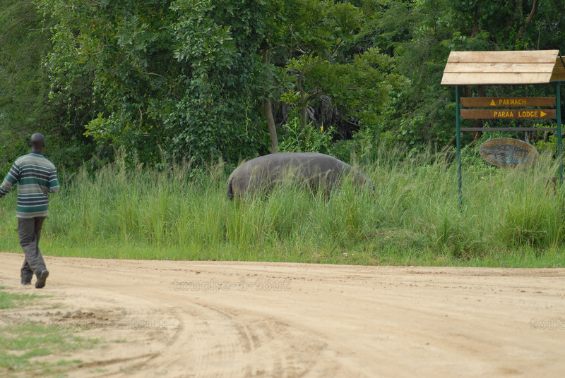 Hippopotamus that chases man