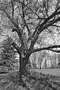 A very old tree on the grounds of Hampton Mansion