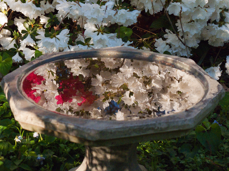 Reflection of Azalea blooms in water in the birdbath.