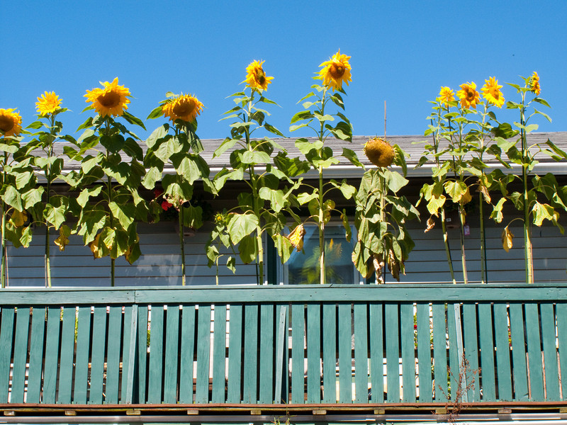 Rooftop sunflowers in Bar Harbor.