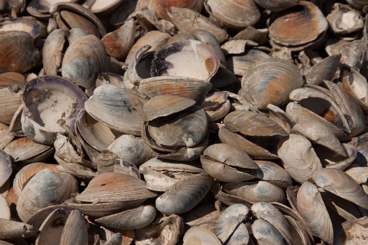 Clam shells in Willis Wharf