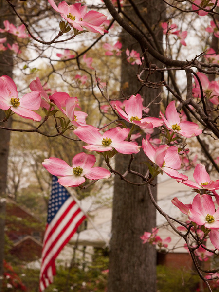 Couldn't resist the pink dogwoods with the American flag in the background.