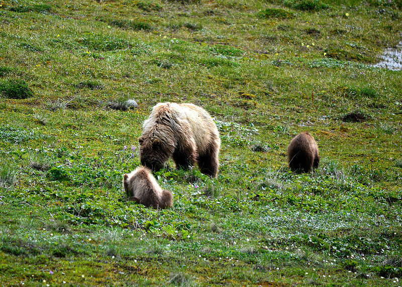 061e_Mama Grizzly with Cubs_DSC0226