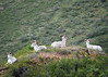 056_Dall Sheep_DSC0162