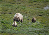 061d_Mama Grizzly with Cubs_DSC0224