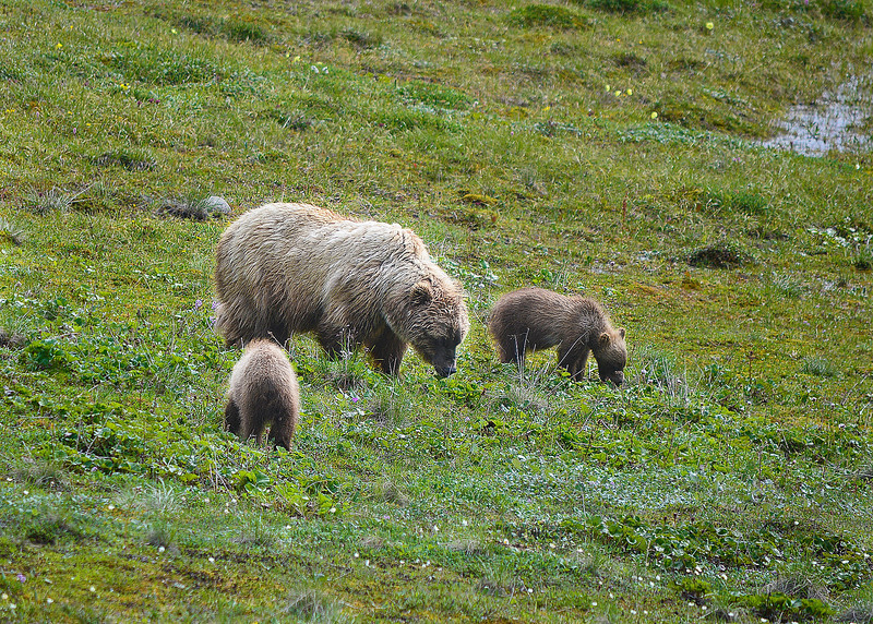 061b_Mama Grizzly with Cubs_DSC0217