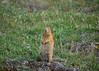 061_Arctic Ground Squirrel_DSC0242