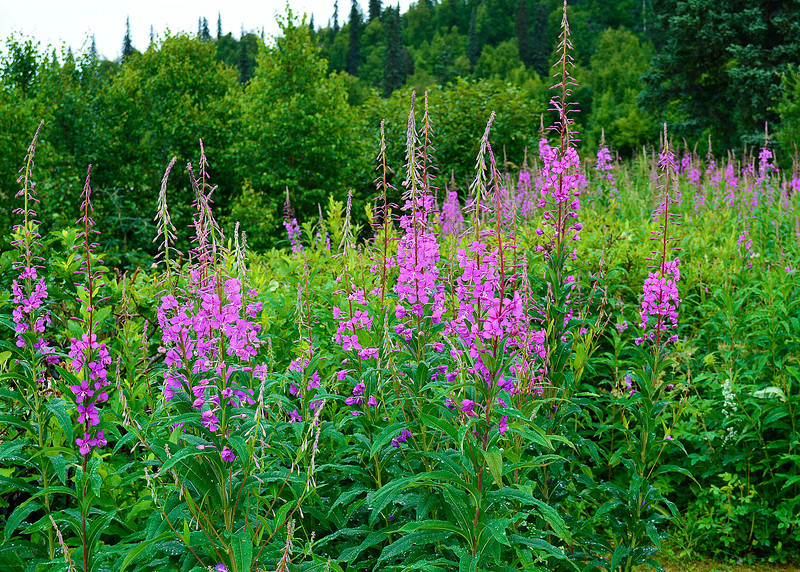 080_Fireweed_NOT Alaska State flower_DSC0076