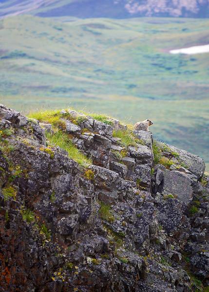 055_Hoary Marmot_DSC0177