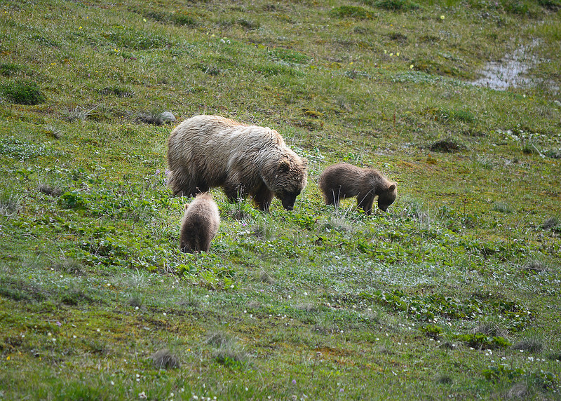061a_Mama Grizzly with Cubs_DSC0215