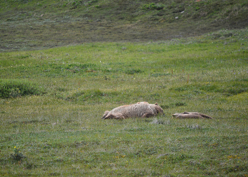 058_Sleeping Mama Grizzly with Cubs_DSC0199