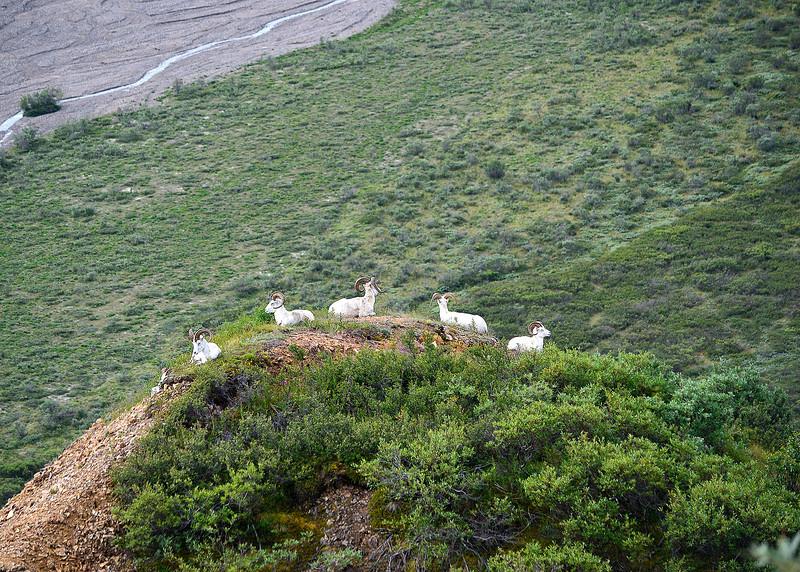 054_Dall Sheep_DSC0159