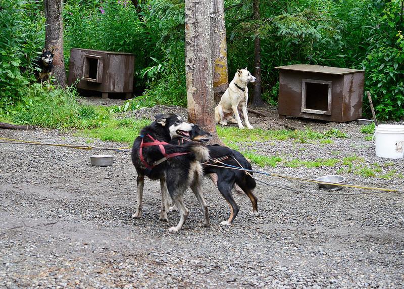 015_Sled Dogs_DSC0036