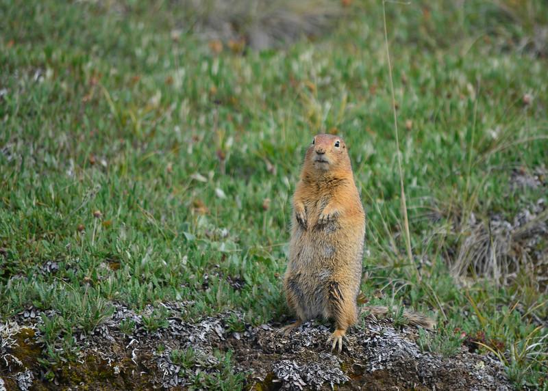 062_Artic Ground Squirrel_DSC0243