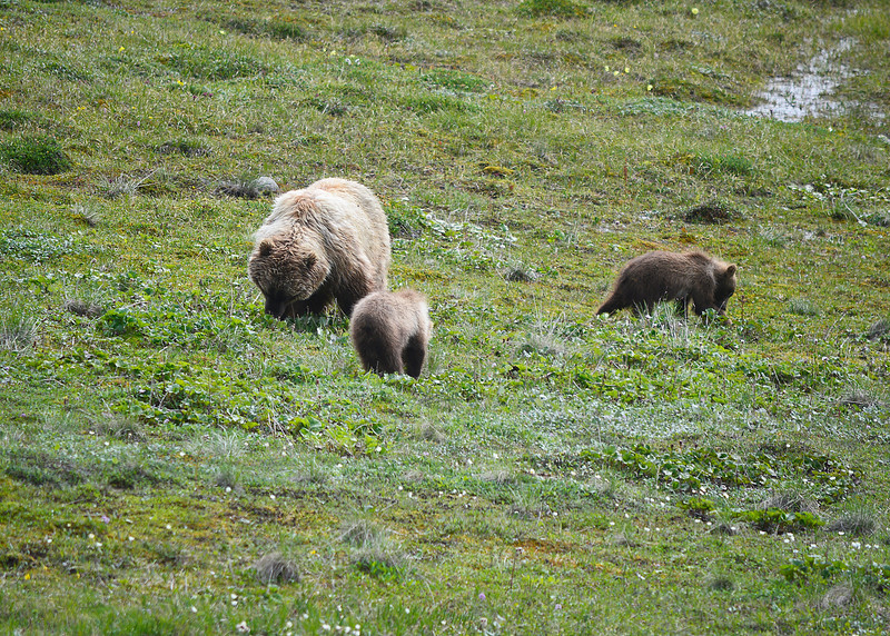 061f_Mama Grizzly with Cubs_DSC0234
