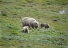 061c_Mama Grizzly with Cubs_DSC0222
