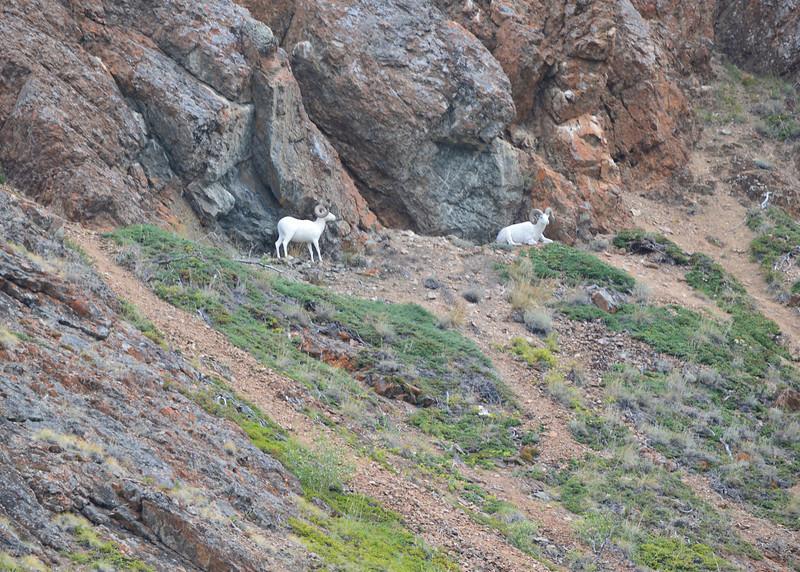 115_Carcross_Fake Goats_DSC0543