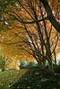 Embassy Yellow Tree Row