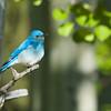 DSC_2948_Bluebird