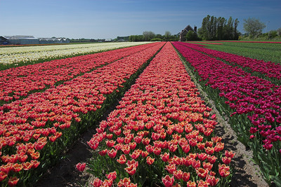 Commercial Tulip fields along the Bollenstreek Route, near Noordwijkerhout (Holland)