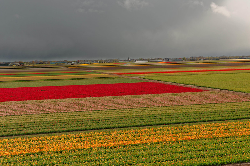 Keukenhof fields where bulbs are grown for export