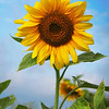 sunflower e 4 x 6 e