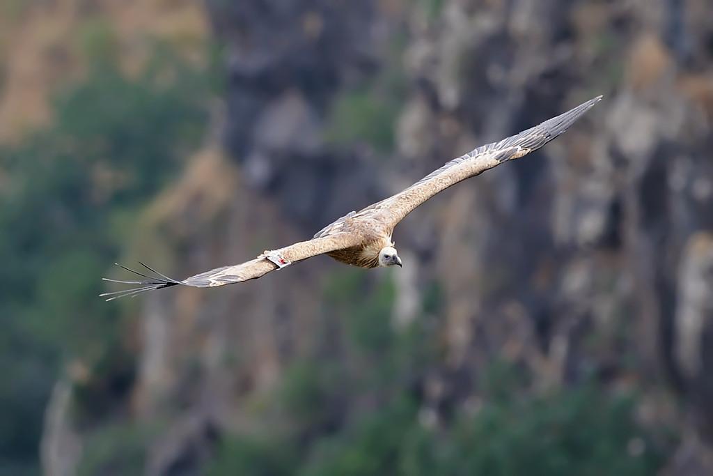 Griffon Vultures at Gamla Reserve