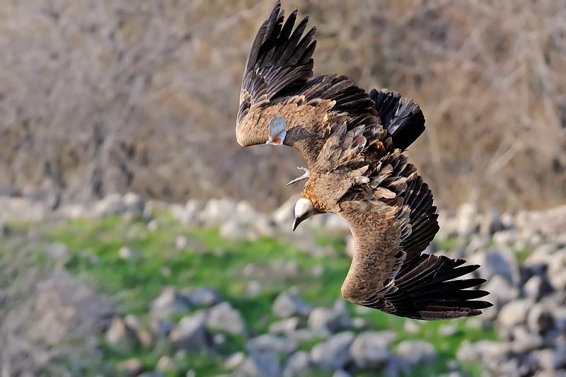 Vultures at Gamla Reserve נשרים בשמורת גמלא