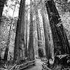 muir woods (b/w)