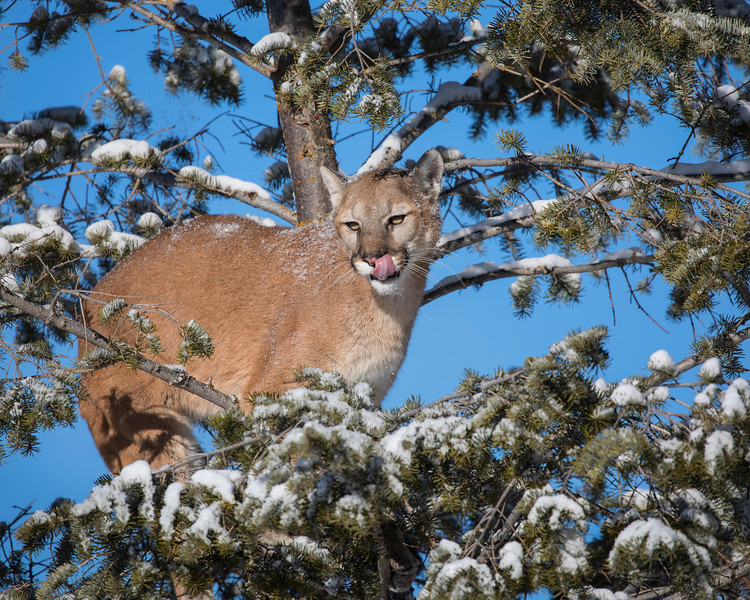 Mountain Lion in the Snow