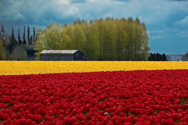 tulip dream (digitally enhanced)