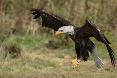 Bald Eagle CRC