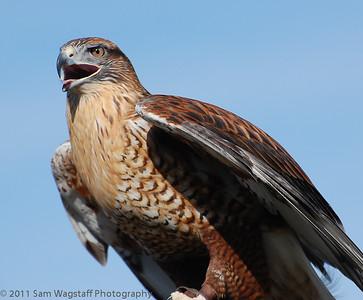 Hawk Watch at RWI in Ramona 2013