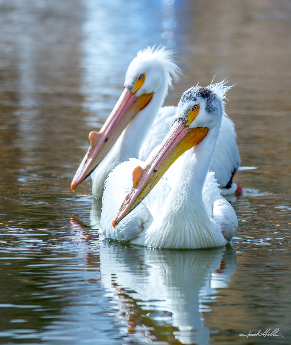 Pelicans hanging out
