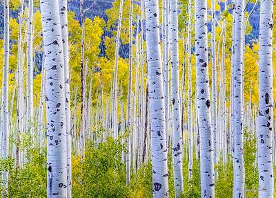 Aspen trees in early evening