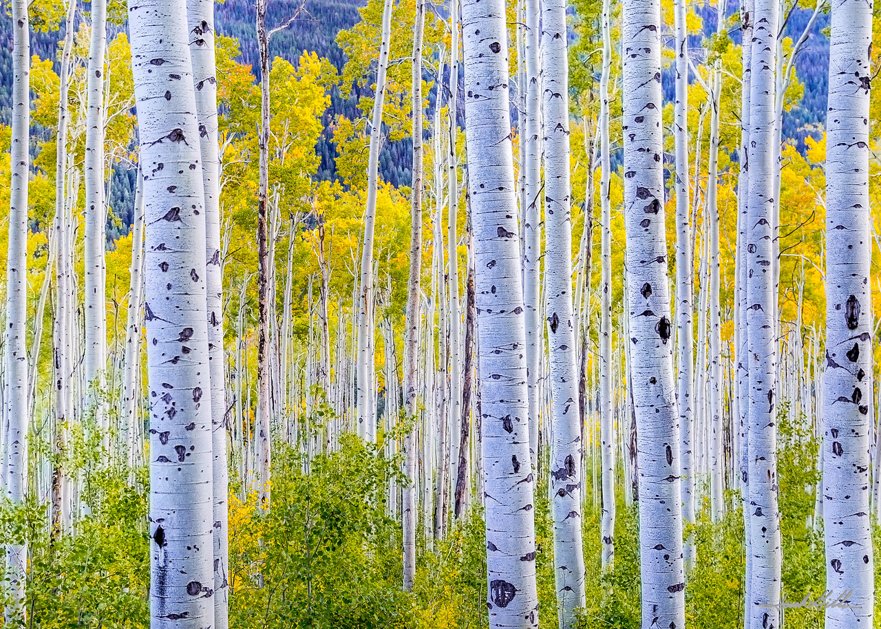 Aspen trees in early evening